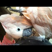 You cherish every calm and quiet moment when you have a Cockatoo | do your research before adopting!