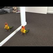 My Sun Conure Dancing with Himself