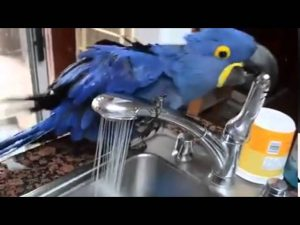 MACAW PARROT SHOWERS IN A SINK