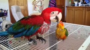 Baby Sun Conure Adopts Baby Macaw