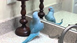 My Indian Ringneck Parrot (Mithu) Dancing