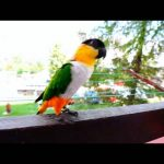 Perfect pet parrot - The Black Headed Caique
