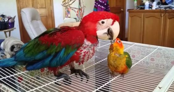 Handed baby Sun Conure adopts handed baby Macaw