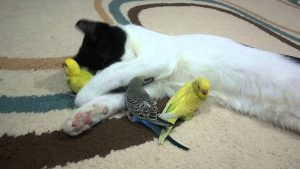 The Inseparables – A Cat And Her Budgerigar Friends!
