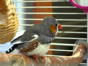 This Zebra Finch Sings Its Heart Out