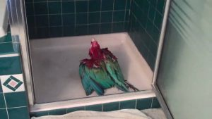 These Macaw Birds Can't Wait To Shower