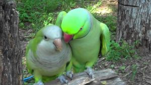 This Indian Ringneck Flirts With His Lady